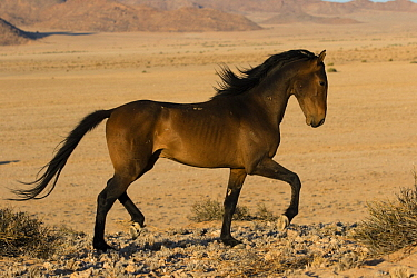 Namib Desert Horse (Equus caballus) stallion displaying, Namib-Naukluft National Park, Namibia