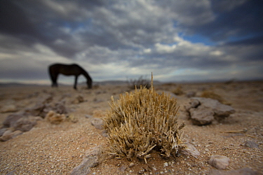 Namib Desert Horse (Equus caballus) grazing in desert, Namib-Naukluft National Park, Namibia