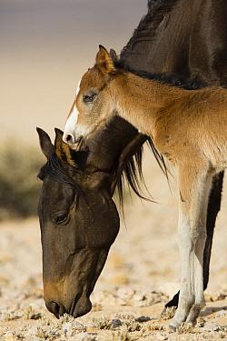 Namib Desert Horse (Equus caballus) mother grazing with foal, Namib-Naukluft National Park, Namibia