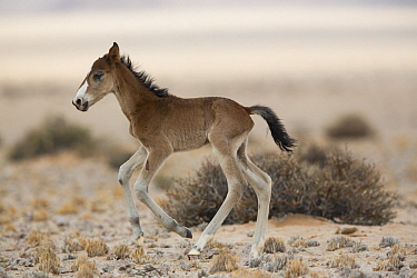Namib Desert Horse (Equus caballus) newborn foal running, Namib-Naukluft National Park, Namibia