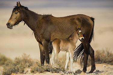 Namib Desert Horse (Equus caballus) mother and newborn foal, Namib-Naukluft National Park, Namibia