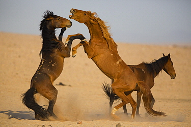 Namib Desert Horse (Equus caballus) stallions fighting, Namib-Naukluft National Park, Namibia