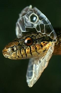 Dione Rat Snake (Elaphe dione) shedding skin, native to Middle East