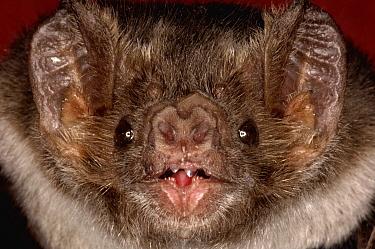 Vampire Bat (Desmodus rotundus), native to Americas