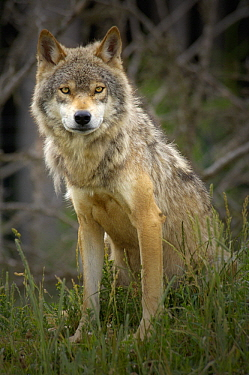Wolf (Canis lupus), native to Northern Hemisphere