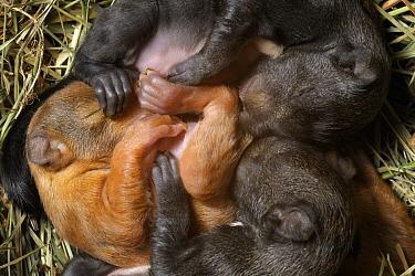 Eurasian Red Squirrel (Sciurus vulgaris) three week old young sleeping in nest, Munich, Bavaria, Germany