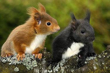 Eurasian Red Squirrel (Sciurus vulgaris) seven week old young, Munich, Bavaria, Germany