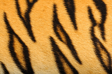Sumatran Tiger (Panthera tigris sumatrae) fur, native to Sumatra