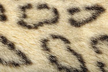 Snow Leopard (Panthera uncia) fur, native to Asia