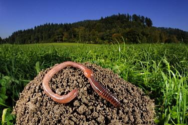 Common Earthworm (Lumbricus terrestris) on mound in meadow, Germany