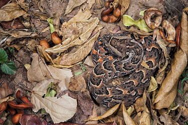 Puff Adder (Bitis arietans) camouflaged in leaves, Marakele National Park, Limpopo, South Africa
