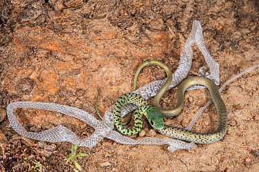 Spotted Bush Snake (Philothamnus semivariegatus) juvenile with shed skin, Marakele National Park, Limpopo, South Africa
