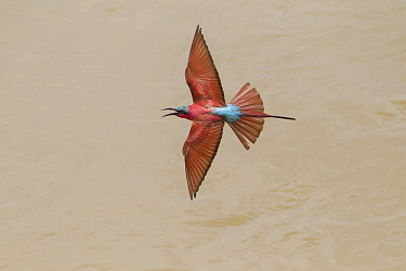 Carmine Bee-eater (Merops nubicus) calling while flying, South Luangwa National Park, Zambia
