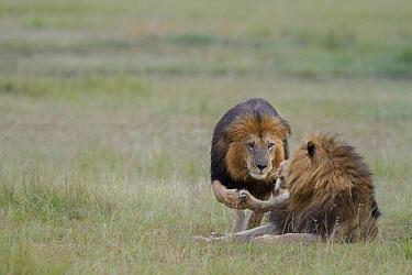 African Lion (Panthera leo) males greeting each other, Masai Mara, Kenya