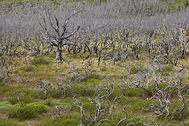Remnants of burned forest, Torres del Paine National Park, Patagonia, Chile