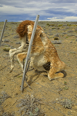 Guanaco (Lama guanicoe) carcass, caught in barbed wire fence, Los Glaciares National Park, Patagonia, Argentina