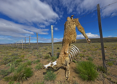 Guanaco (Lama guanicoe) carcass, caught in barbed wire fence, partially eaten by carnivores, Patagonia, Argentina