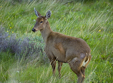 South Andean Huemul (Hippocamelus bisulcus), Torres del Paine National Park, Patagonia, Chile