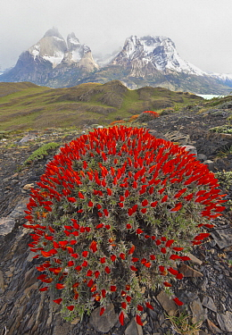 Neneo (Anarthrophyllum desideratum) flowering in spring, Torres del Paine National Park, Patagonia, Chile