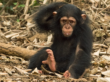 Chimpanzee (Pan troglodytes) orphan Larry scratching, Ape Action Africa, Mefou Primate Sanctuary, Cameroon