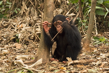 Chimpanzee (Pan troglodytes) orphan Larry learning how to use tool, Ape Action Africa, Mefou Primate Sanctuary, Cameroon
