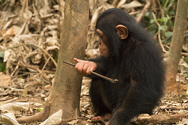 Chimpanzee (Pan troglodytes) orphan Larry learning how to use tools, Ape Action Africa, Mefou Primate Sanctuary, Cameroon