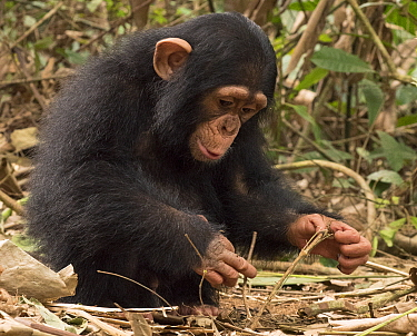 Chimpanzee (Pan troglodytes) orphan Larry investigating branches, Ape Action Africa, Mefou Primate Sanctuary, Cameroon