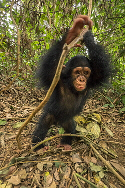 Chimpanzee (Pan troglodytes) orphan Larry playing, Ape Action Africa, Mefou Primate Sanctuary, Cameroon