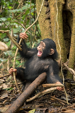 Chimpanzee (Pan troglodytes) orphan Larry playing in forest nursery, Ape Action Africa, Mefou Primate Sanctuary, Cameroon
