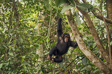 Chimpanzee (Pan troglodytes) orphan Daphne climbing in forest nursery, Ape Action Africa, Mefou Primate Sanctuary, Cameroon