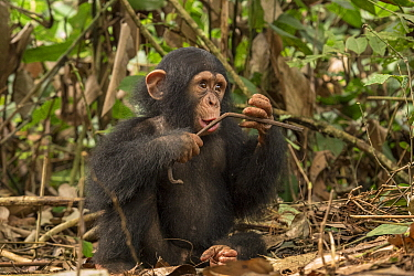 Chimpanzee (Pan troglodytes) orphan Larry chewing stick in forest nursery, Ape Action Africa, Mefou Primate Sanctuary, Cameroon