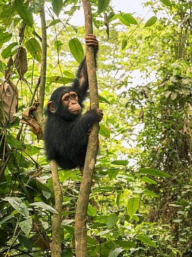 Chimpanzee (Pan troglodytes) orphan Larry climbing in forest nursery, Ape Action Africa, Mefou Primate Sanctuary, Cameroon