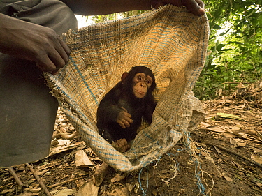Chimpanzee (Pan troglodytes) orphan Larry in bag held by keeper, Ape Action Africa, Mefou Primate Sanctuary, Cameroon