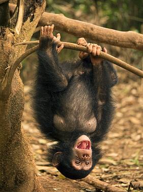 Chimpanzee (Pan troglodytes) orphan Larry hanging upside down, Ape Action Africa, Mefou Primate Sanctuary, Cameroon