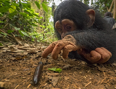 Chimpanzee (Pan troglodytes) orphan Larry cautiously investigating millipede, Ape Action Africa, Mefou Primate Sanctuary, Cameroon
