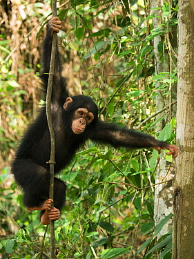 Chimpanzee (Pan troglodytes) orphan Larry in forest nursery, Ape Action Africa, Mefou Primate Sanctuary, Cameroon