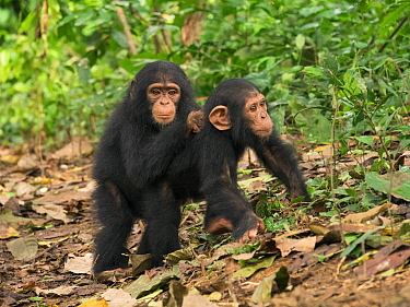 Chimpanzee (Pan troglodytes) orphans Lomie and Jenny holding each other in forest nursery, Ape Action Africa, Mefou Primate Sanctuary, Cameroon