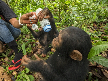 Chimpanzee (Pan troglodytes) orphans Jenny and Larry being bottle fed by keeper, Ape Action Africa, Mefou Primate Sanctuary, Cameroon