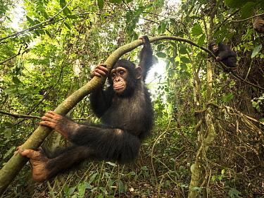 Chimpanzee (Pan troglodytes) orphan Daphne and Larry climbing tree, Mefou Primate Sanctuary, Ape Action Africa, Cameroon
