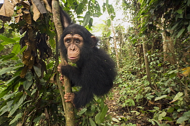 Chimpanzee (Pan troglodytes) orphan Larry in forest nursery, Mefou Primate Sanctuary, Ape Action Africa, Cameroon