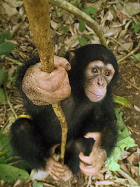Chimpanzee (Pan troglodytes) orphan Larry play-climbing by swinging on vine, Mefou Primate Sanctuary, Ape Action Africa, Cameroon