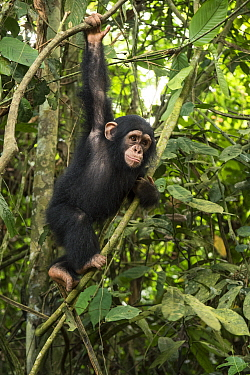 Chimpanzee (Pan troglodytes) orphan Larry climbing in forest nursery, Mefou Primate Sanctuary, Ape Action Africa, Cameroon