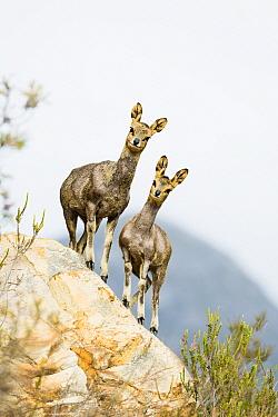 Klipspringer (Oreotragus oreotragus) pair, Montagu Pass, Western Cape, South Africa