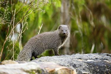 Cape Gray Mongoose (Galerella pulverulenta), Montagu Pass, Western Cape, South Africa