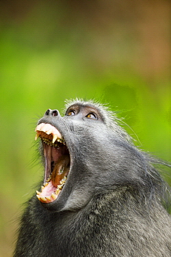 Chacma Baboon (Papio ursinus) yawning, Montagu Pass, Western Cape, South Africa