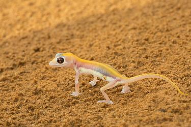 Namib Sand Gecko (Palmatogecko rangei) raising body to escape heat from sand, Namibia