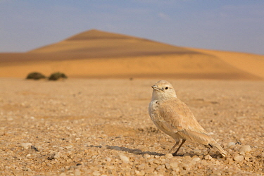 Tractrac Chat (Cercomela tractrac) in desert, Namibia