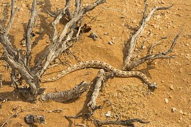 Horned Adder (Bitis caudalis) in desert, Namibia