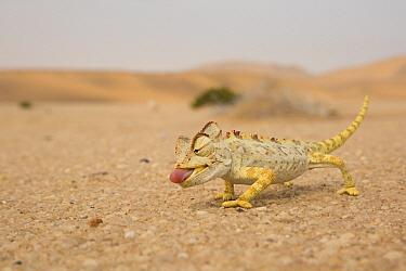 Namaqua Chameleon (Chamaeleo namaquensis) hunting in desert, Namibia