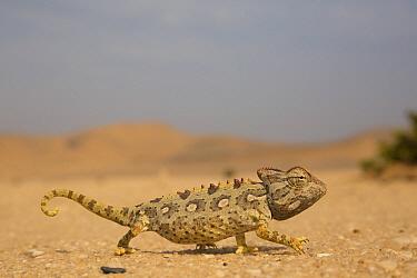 Namaqua Chameleon (Chamaeleo namaquensis) in desert, Namibia